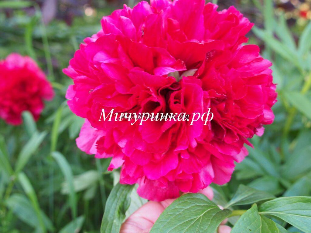 Пион P. officinalis Rubra Plena