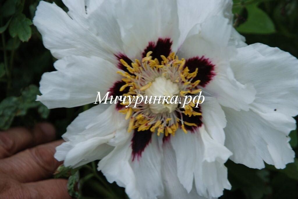 Пион P. suffruticosa (Пион древовидный)