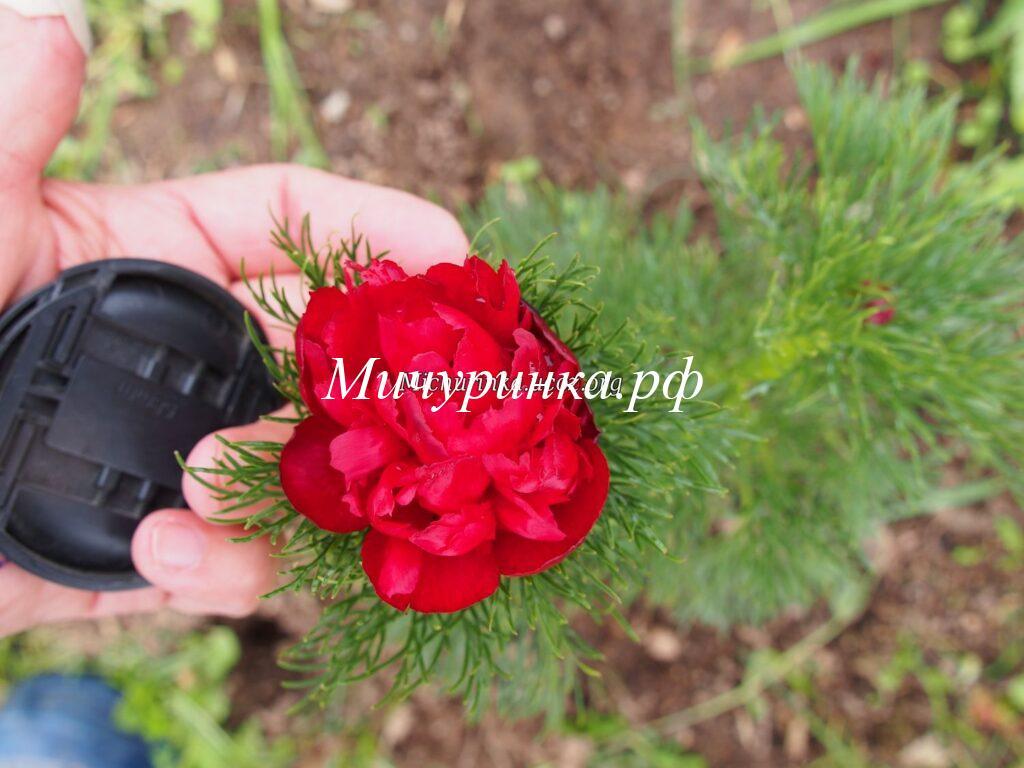 Пион Tenuifolia Rubra Plena
