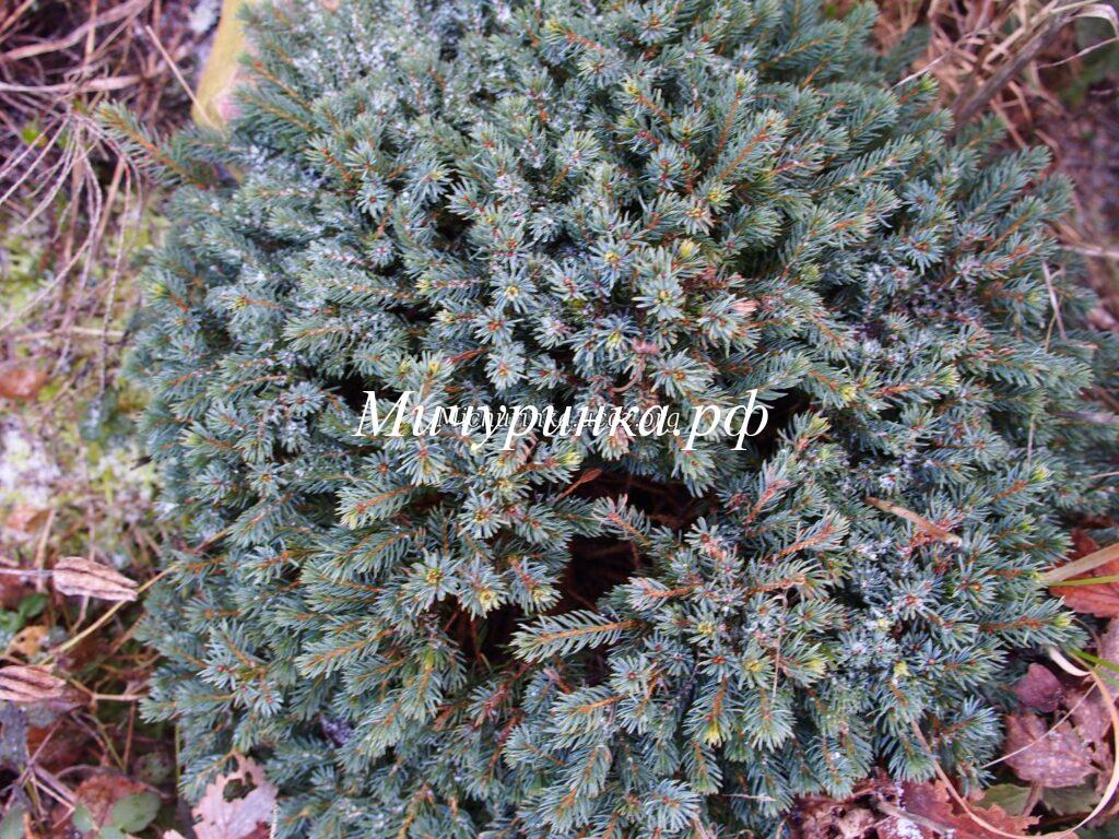 Е. канадская «Эхиниформис» (P. glauca «Echiniformis»)