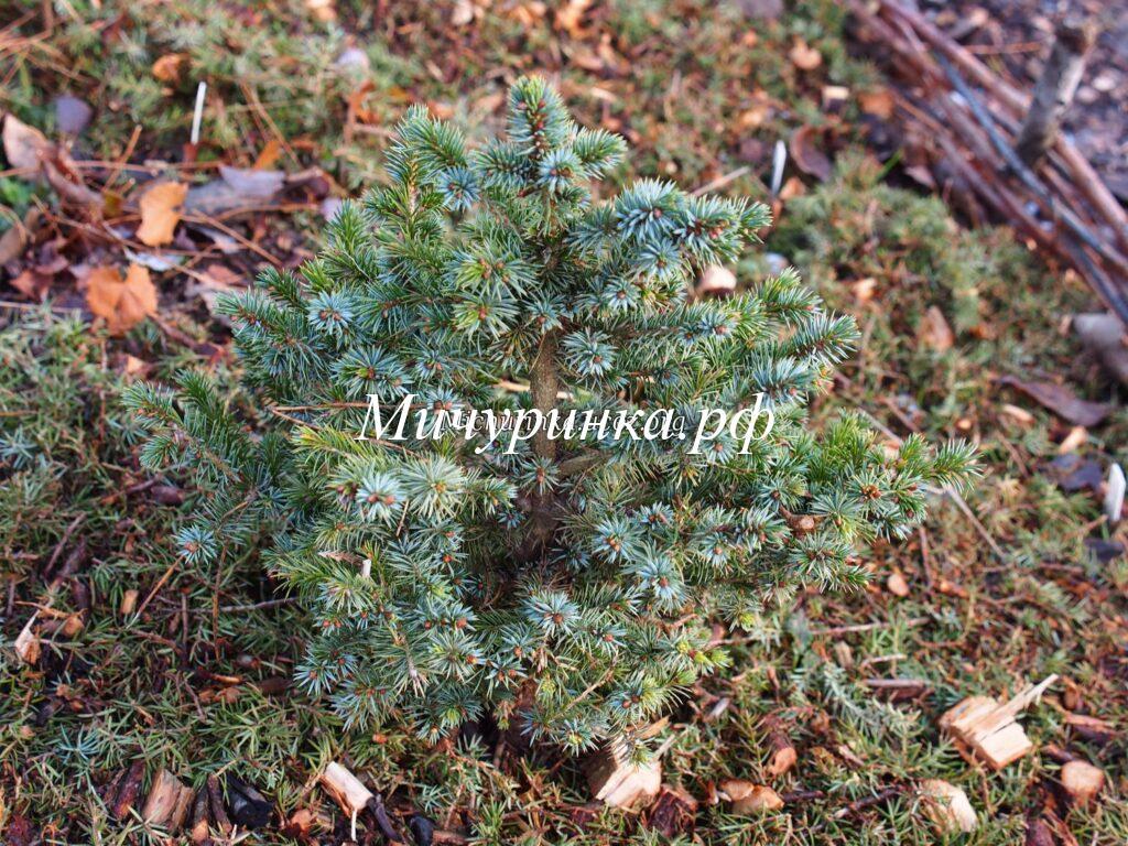 Е. ситхинская «Мидгет» (P. sitchensis «Midget»)