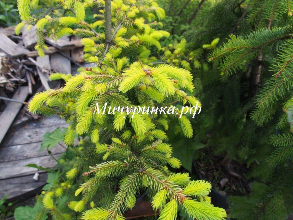 Ель обыкновенная «Ауреа» (Picea abies «Aurea»)
