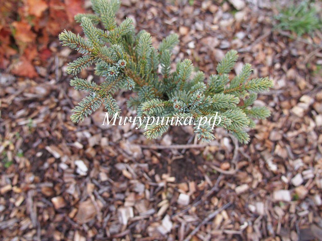 Ель аянская «Нана» (Picea jezoenis «Nana»)