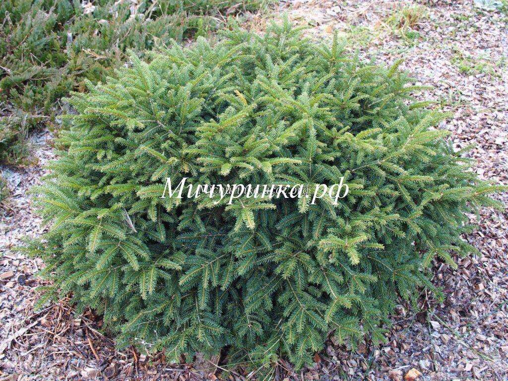 Ель обыкновенная «Нидиформис» (Picea abies «Nidiformis»)