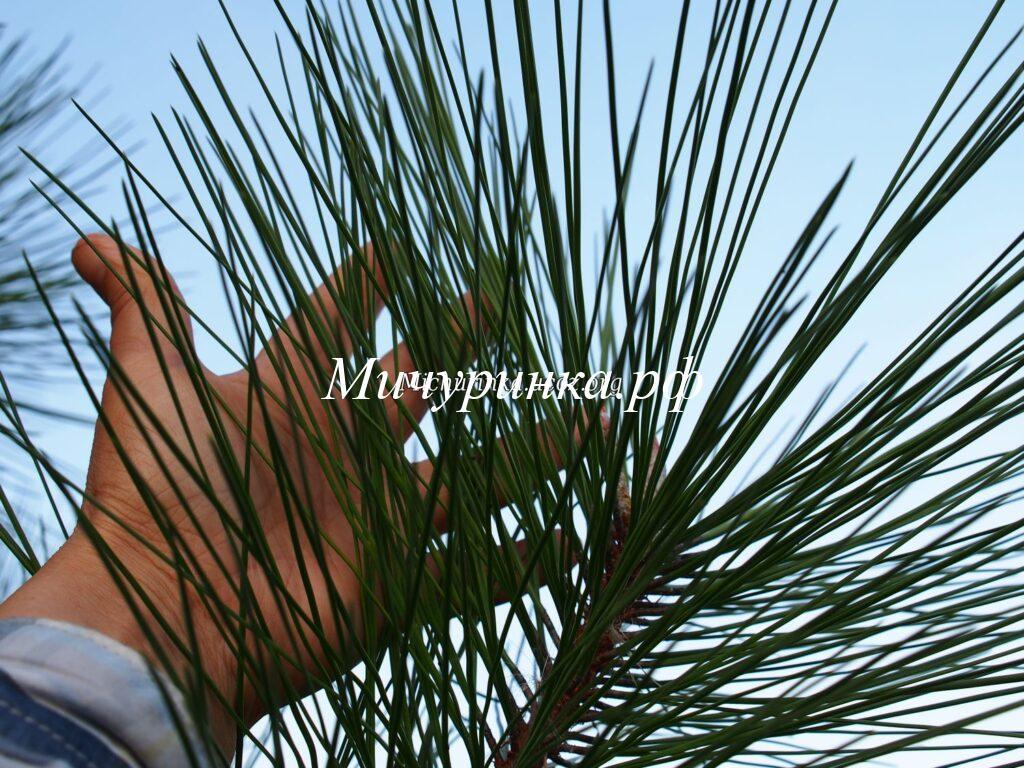 С. желтая (P. ponderosa)