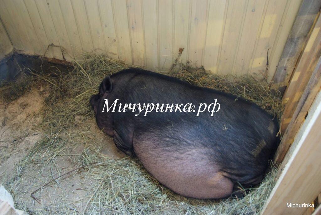 Беременная свинка